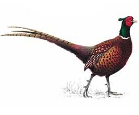 pheasant_male_300_tcm9_142357_answer_3_xlarge
